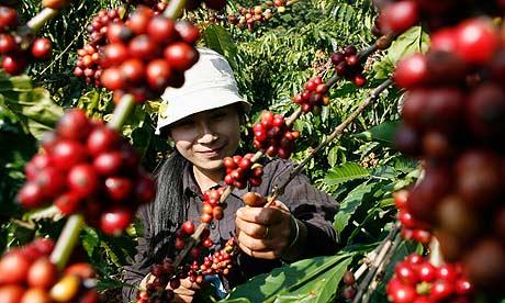 Vườn cà phê đang mùa chín rộ. Nguồn: google.com
